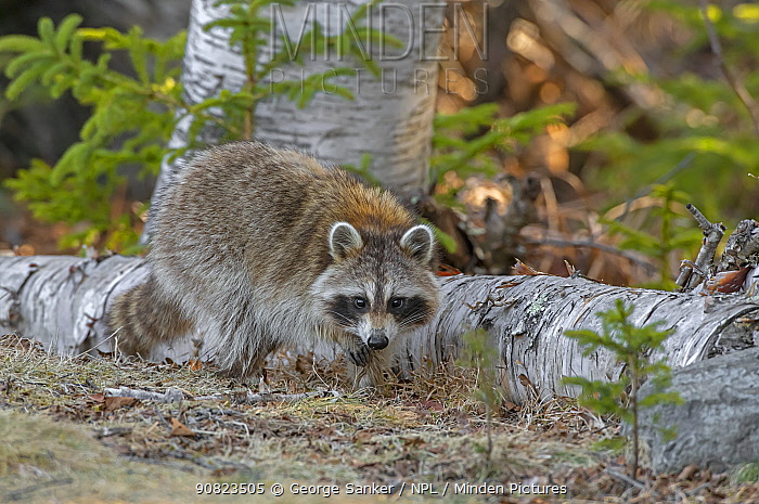 Raccoon (Procyon lotor) foraging in woodland. Acadia National Park, Maine, USA. April.