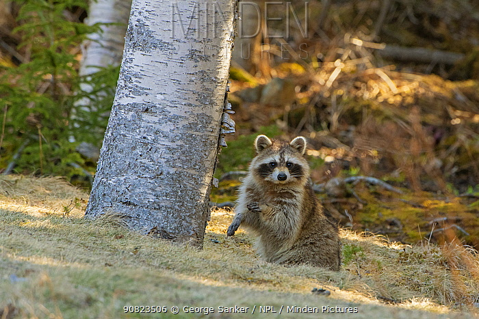 Raccoon (Procyon lotor) sitting in woodland, looking at camera. Acadia National Park, Maine, USA. April.