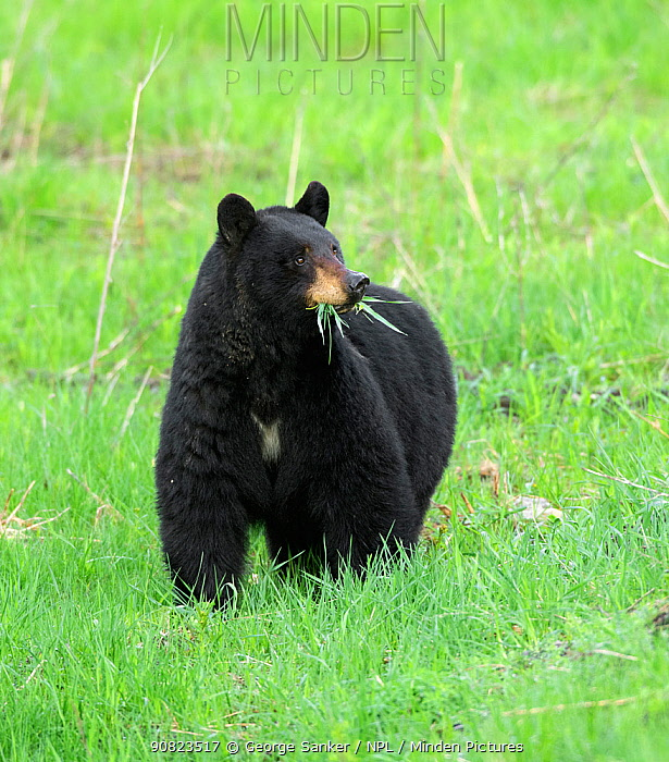 Black bear (Ursus americanus) feeding, grass in mouth. Yellowstone National Park, Wyoming, USA. May.