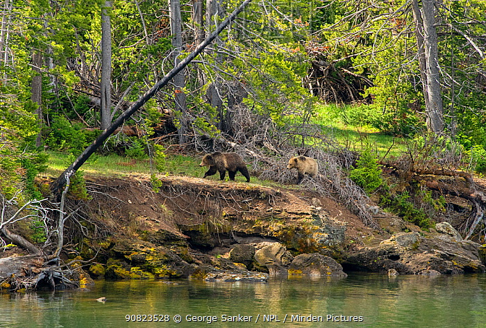 Grizzly bear (Ursus arctos horribilis) female and sub-adult cub walking along river bank at woodland edge. Yellowstone National Park, Wyoming, USA. May 2018.
