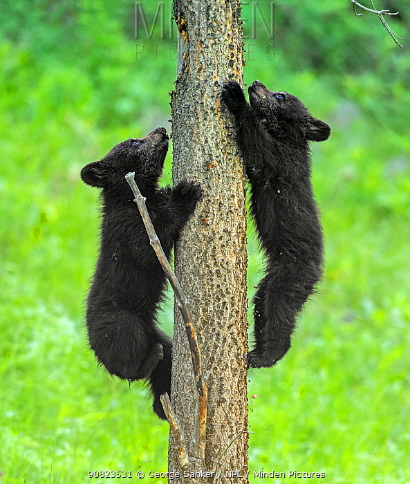 Black bear (Ursus americanus), two cubs playing, climbing up tree trunk. Yellowstone National Park, Wyoming, USA. June.