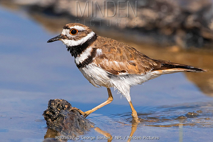 Killdeer (Charadrius vociferus) wading at edge of Yellowstone Lake, Yellowstone National Park, Wyoming, USA. June.