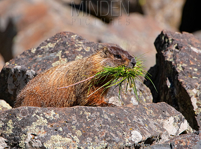 Yellow-bellied carmot (Marmota flaviventris) carrying grass in mouth, amongst rocks. Yellowstone National Park, Wyoming, USA. June.