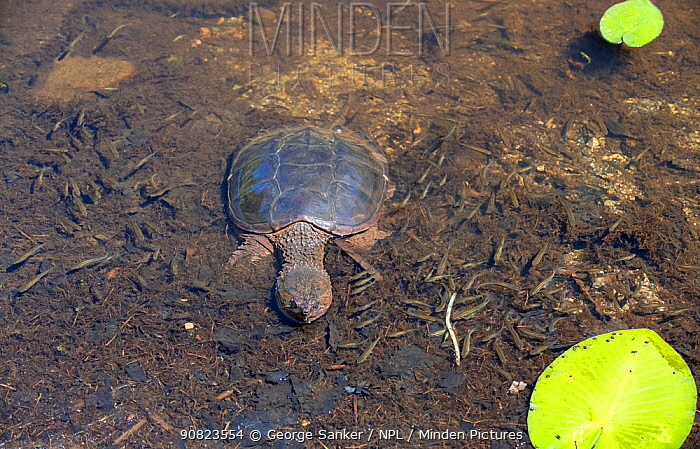 Common snapping turtle (Chelydra serpentina) on bottom of pond, view from above. Acadia National Park; Maine; USA. July.