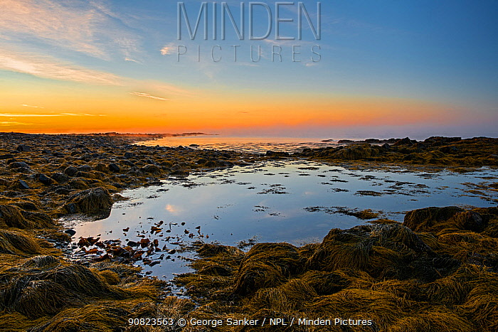 Rockpool and Seaweed covered rocky shore at dawn. Acadia National Park, Maine, USA. October 2013.