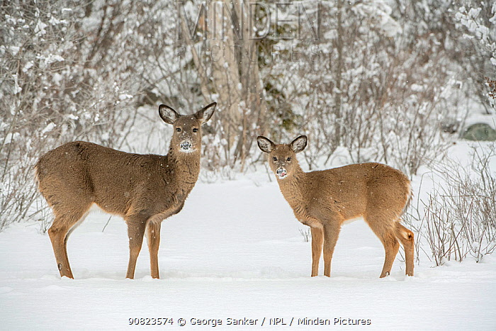 White-tailed deer (Odocoileus virginianus) doe and fawn standing on snow covered pond. Acadia National Park, Maine, USA. January.