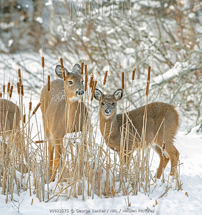 White-tailed deer (Odocoileus virginianus) doe and fawn standing amongst Bulrushes on snow covered pond. Acadia National Park, Maine, USA. January.