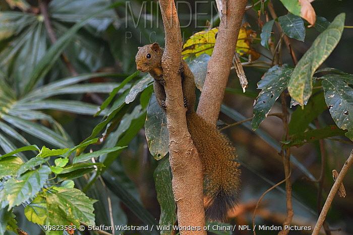 Anderson's squirrel (Callosciurus quinquestriatus) Tongbiguan Nature Reserve, Dehong, Yunnan, China
