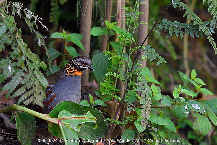 Rufous-throated Partridge (Arborophila rufogularis) Gaoligongshan, Yunnan, China