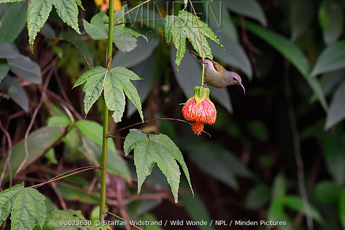 Black-throated sunbird (Aethopyga saturata) female, Gaoligongshan, Yunnan, China