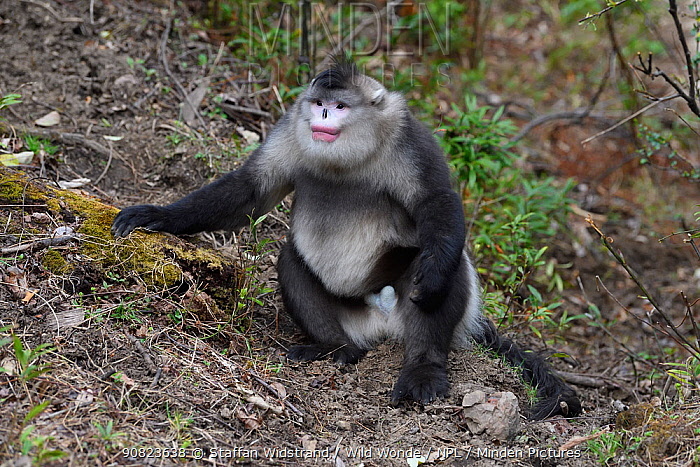 Black-and-white snub-nosed monkey (Rhinopithecus bieti) , Ta Cheng Nature Reserve, Yunnan, China