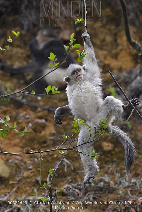 Black-and-white snub-nosed monkey (Rhinopithecus bieti) , Ta Cheng Nature Reserve, Yunnan, China