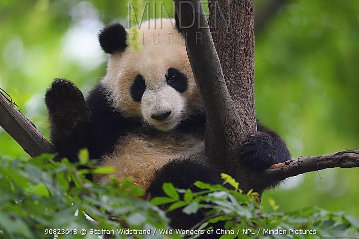 Giant panda (Ailuropoda melanoleuca) Chengdu Panda Breeding Centre, Sichuan, China. Captive