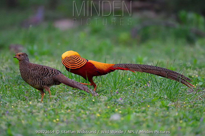 Golden pheasant (Chrysolophus pictus) male and female, Yangxian nature reserve, Shaanxi, China