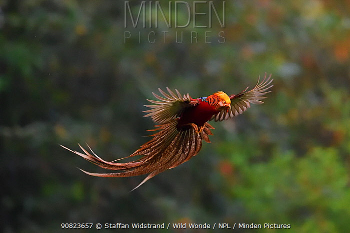 Golden pheasant (Chrysolophus pictus) male in flight, Yangxian nature reserve, Shaanxi, China