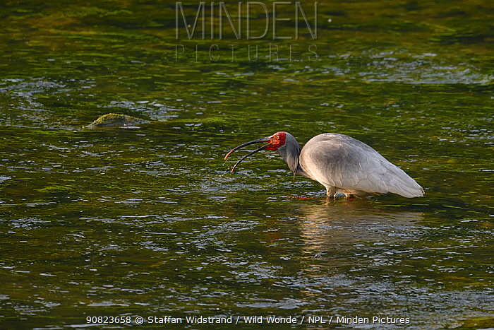 Crested ibis (Nipponia nippon) in water, Yangxian nature reserve, Shaanxi, China