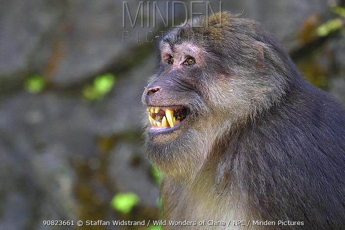 Tibetan macaque (Macaca thibetana) dominant male, Tangjiahe Nature Reserve, Sichuan, China