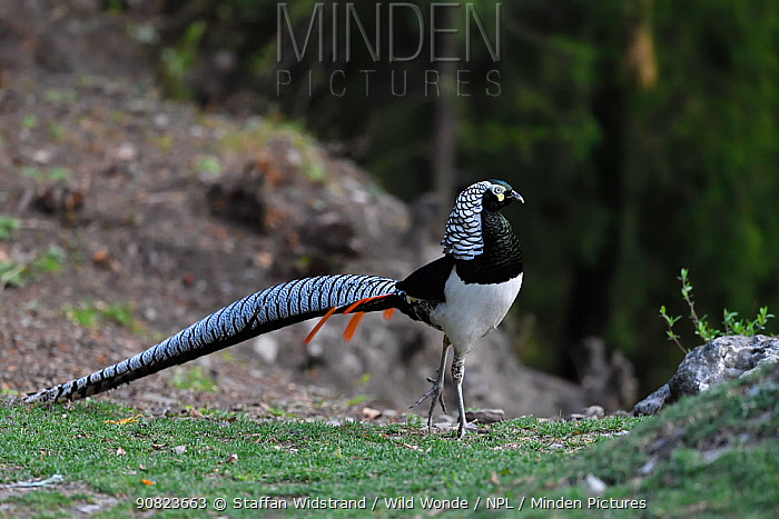 Lady Amherst's pheasant (Chrysolophus amherstiae) Kanding, Sichuan, China