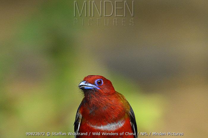 Red-headed trogon (Harpactes erythrocephalus) Tongbiguan Nature Reserve, Dehong, Yunnan, China