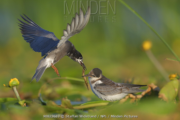 Black tern (Chlidonias nigra) flying in to feed its chick on tfloating vegetation in the Nemunas Delta Nature Reserve, Lithuania.