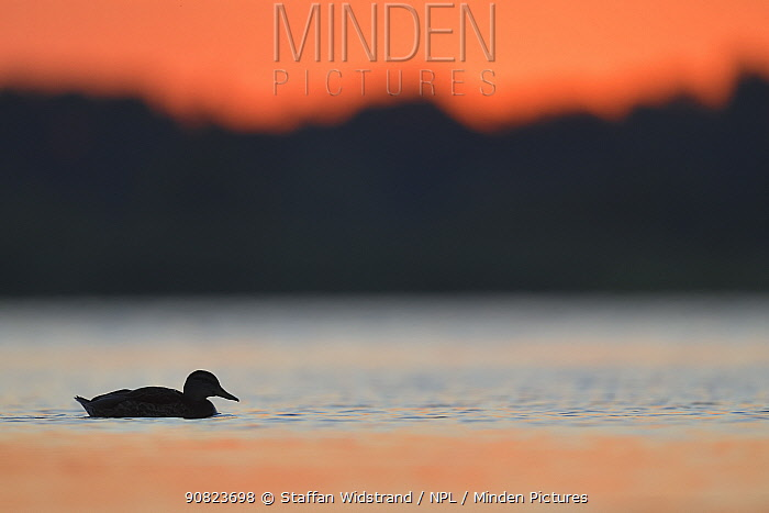 Mallard Duck (Anas platyrhynchos) at sunrise in the Nemunas Delta Nature Reserve, Lithuania.