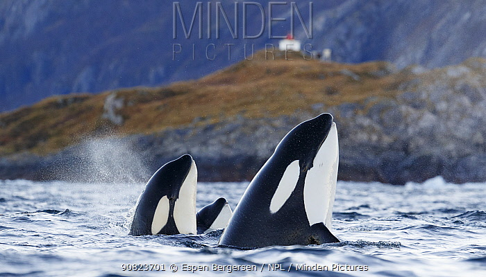 Killer whales / orcas (Orcinus orca). spyhopping. Troms, Norway. November.