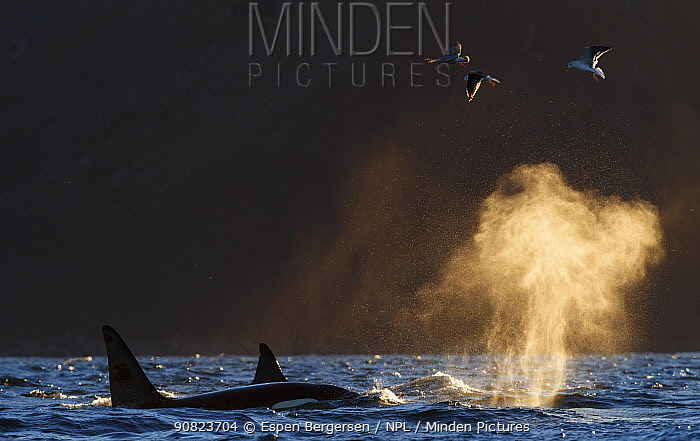 Killer whales / orcas (Orcinus orca) pod at surface, blowing backlit, Troms, Norway. November.