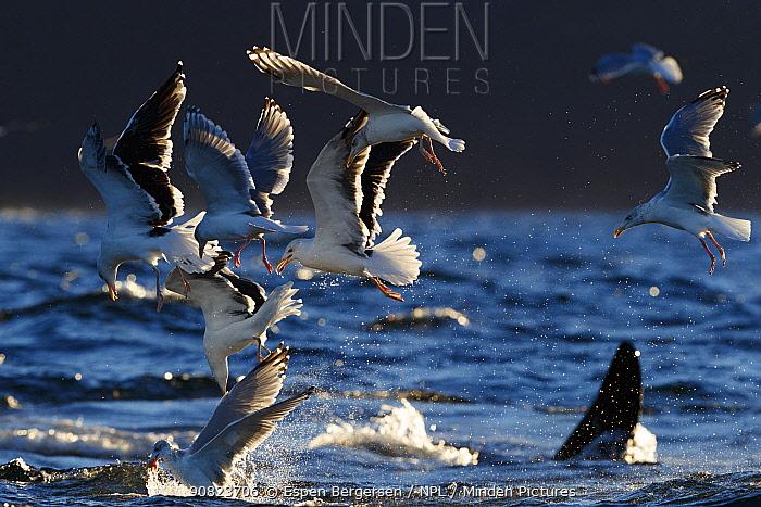 Gulls and Killer whales / orcas (Orcinus orca) feeding on herring Troms, Norway. November.
