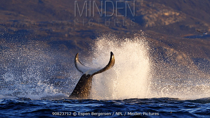 Killer whale / orca (Orcinus orca) splashing with tail fluke. Kvaloya, Troms, Norway. Sequence 1 of 7 November.