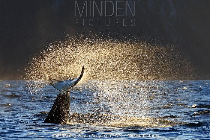 Killer whales / orcas (Orcinus orca) fluke at surface, Troms, Norway. November.