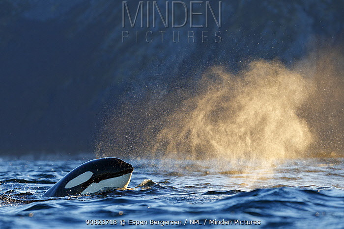 Killer whale / orca (Orcinus orca) spyhopping. Troms, Norway. November.