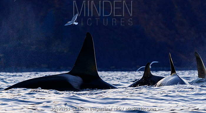 Killer whales / orcas (Orcinus orca) group, Troms, Norway. November.