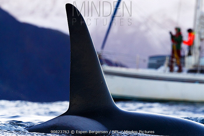 Killer whale (Orcinus orca) dorsal fin, people on boat in background. Troms, Norway. October.