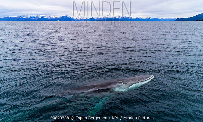 Aerial view of Fin whale (Balaenoptera physalus) Norway. November.