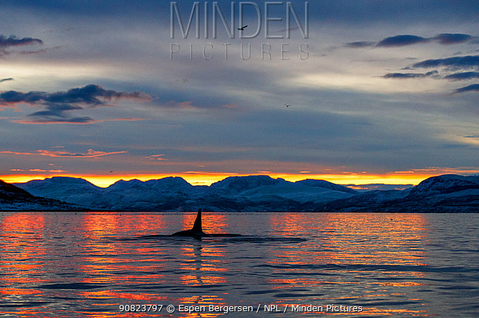 Killer whales / orcas (Orcinus orca) at sunset, Norway. December.