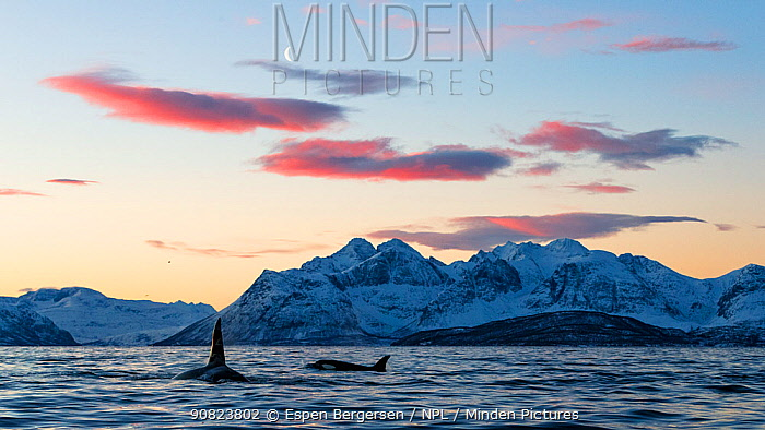 Killer whales / orcas (Orcinus orca) in landscape, Norway. November.