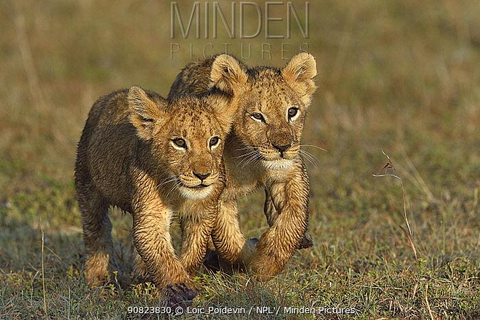 Two Lion cubs (Penthera leo) walking in grass, Masai Mara, Kenya, March.