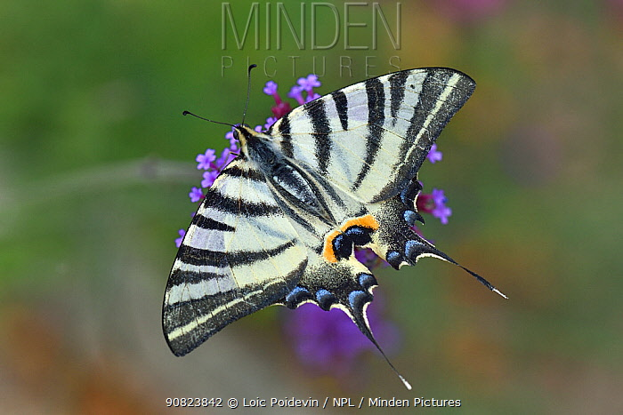 Scarce Swallowtail butterfly (Iphiclides podalirius) on Buenos Aires Verbena (Verbena bonariensis) flower, Vendee, France. July.