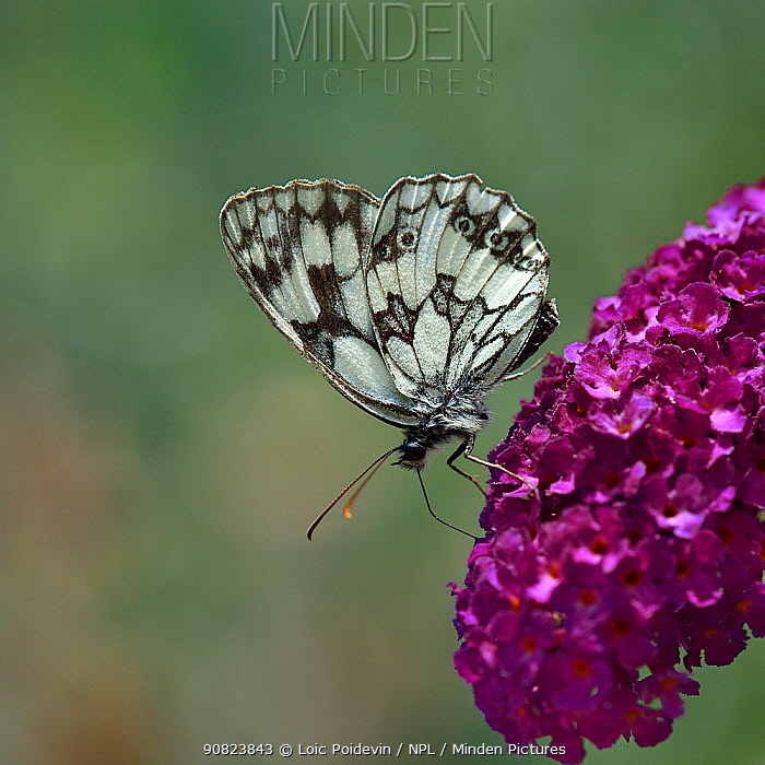 Marbled White butterfly (Melanargia galathea) drinking from Buddleia flowers, Vendee, France. July.