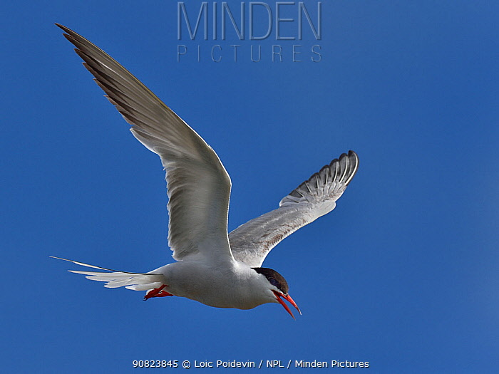 Common Tern (Sterna hirundo) in flight, Vendee, France. July.
