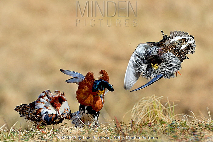 Ruff (Philomachus pugnax) males displaying and fighting each other at a lek, Finland. May.