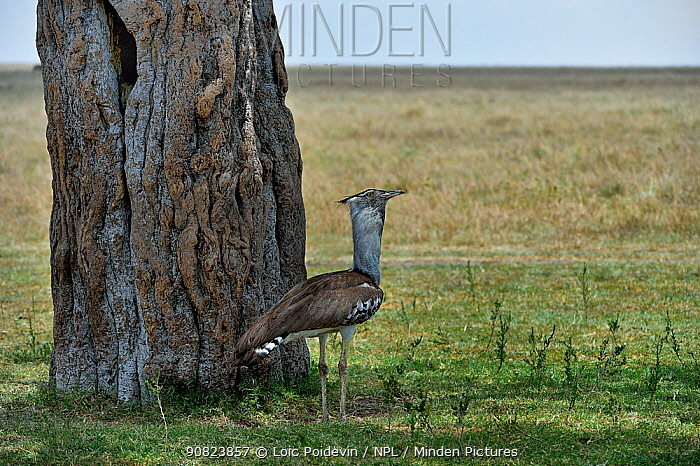 Kori Bustard (Ardeotis kori) standing in shade, Masai Mara, Kenya. March.