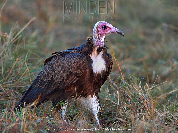 Hooded Vulture (Necrosyrtes monachus), Masai Mara, Kenya. March.