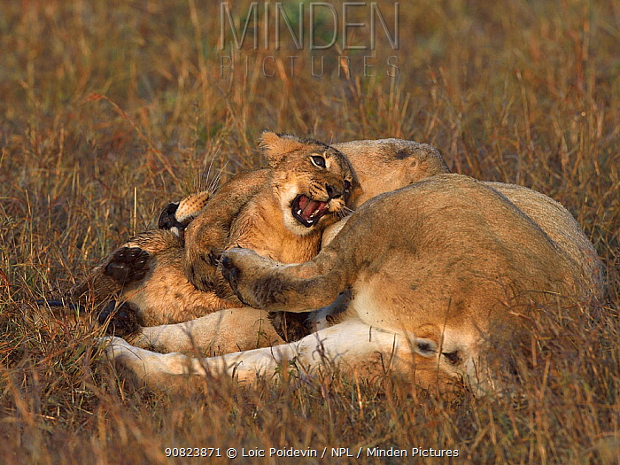 African lioness (Panthera leo) lying in grass with a playful cub, Masai Mara, Kenya. March.
