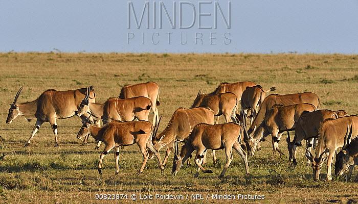 Herd of Giant Eland (Taurotragus derbianus) grazing, Masai mara, Kenya. March.