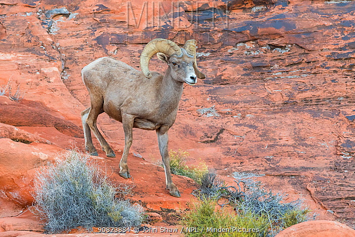 Desert bighorn sheep ram (Ovis canadensis nelsoni) descends a steep sandsone wall. Valley of Fire State Park, Nevada, USA. February.