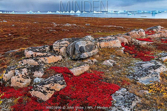 Alpine bearberry (Arctous alpina) on tundra in autumn and boulderrs at Sydkapp (South Cape), with icebergs in Hall Bredning, Scoresby Sund, Greenland, September.