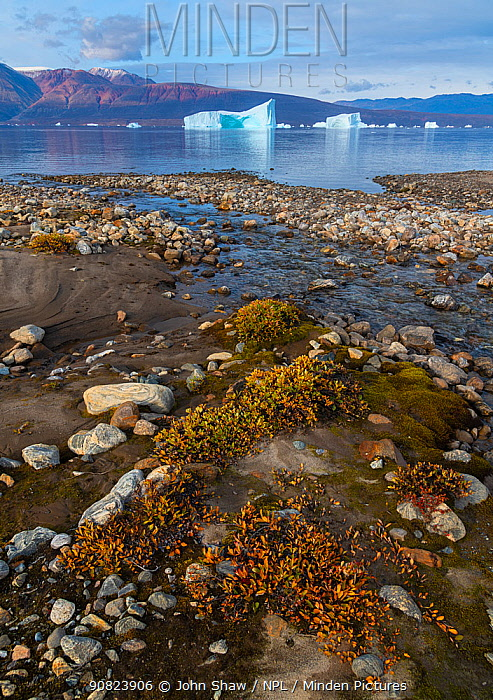 Dwarf willows add color along a small glacial stream before icebergs in Hare Fjord, Scoresby Sund, Greenland, August.