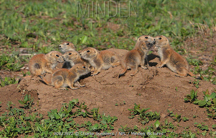 Black-tailed prairie dogs (Cynomys ludovicianus) youngsters stay close together above their burrow, Cherry Creek State Park of Colorado, USA, May.