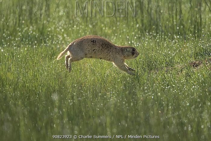 White-tailed prairie dog (Cynomys leucurus) bounding through dew covered prairie grass, North Park, Colorado, USA.
